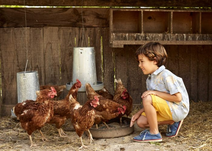 Smiling boy looking at hens in coop. Male is enjoying with birds. He is wearing casuals.