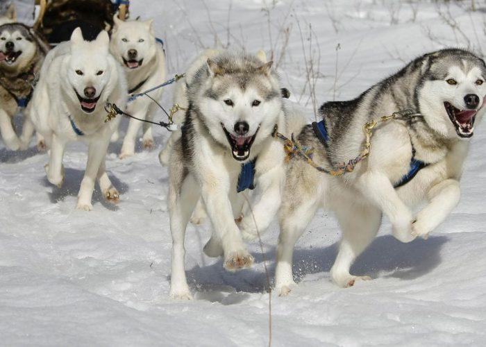 photos chiens traineaux